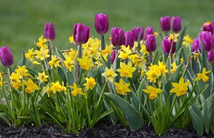 сочетание с тюльпанами