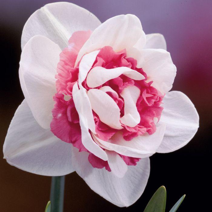 розовый нарцисс редкий сорт