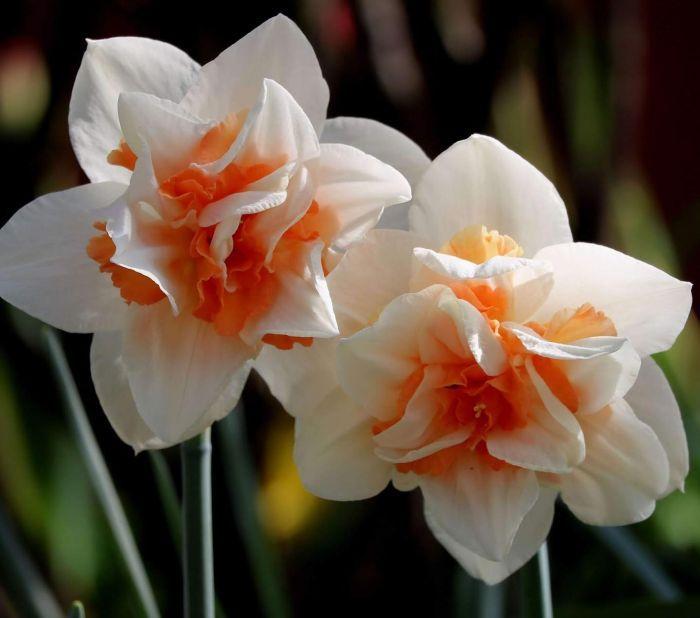 цветущий махровый нарцисс