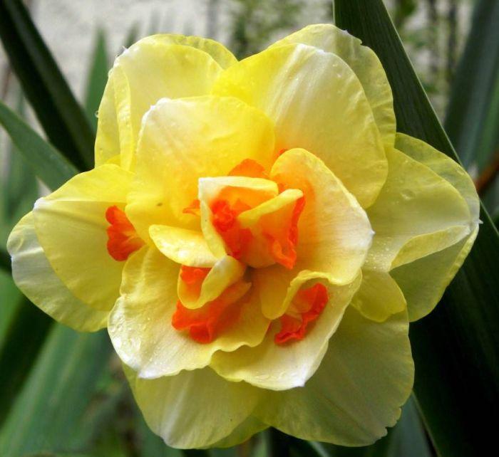 нарциссы махровые цветы