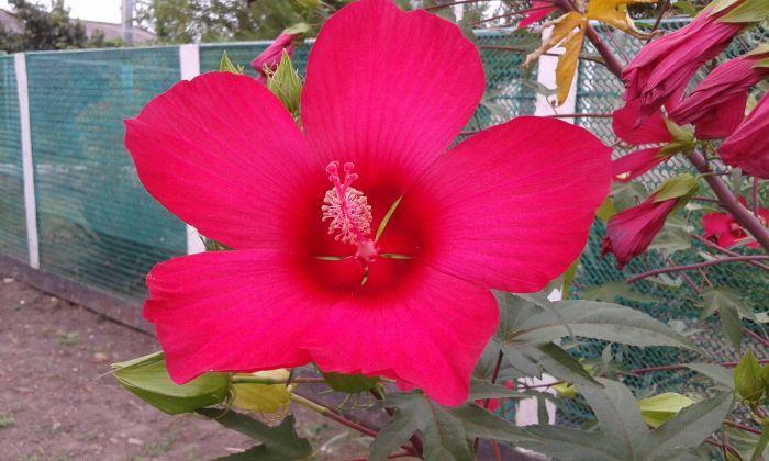 гибискус садовый кустовой цветок красный