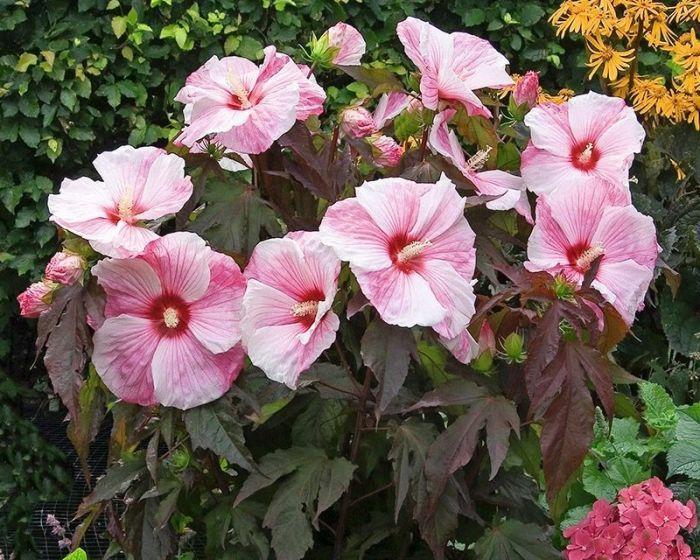гибискус садовый кустовой фото цветков