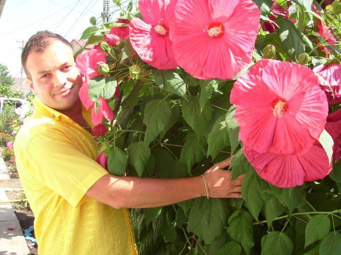 гибискус с огромными цветами