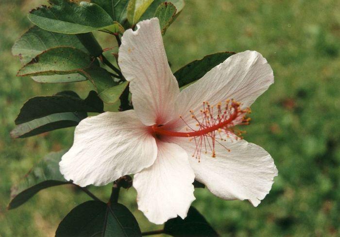 Гибискус Арнотти цветок