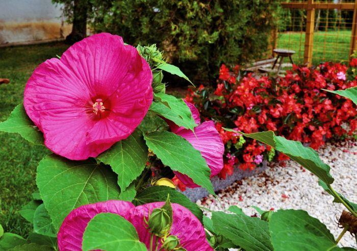 гибискус садовый кустовой фото уход