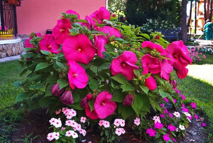 гибискус садовый кустовой красный