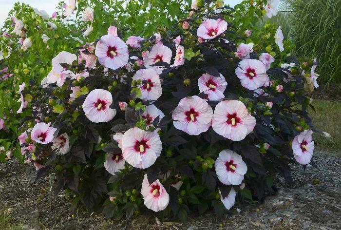 сорта и виды китайской розы