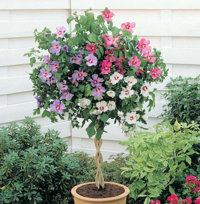 гибискус садовый штамбовое дерево