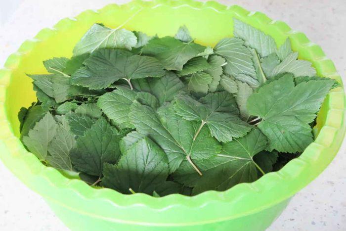 листья смородины для консервирования