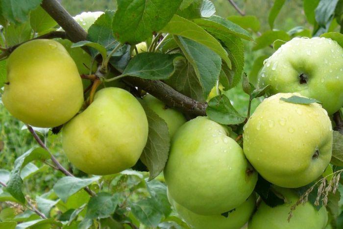 зимние сорта яблок для заготовок