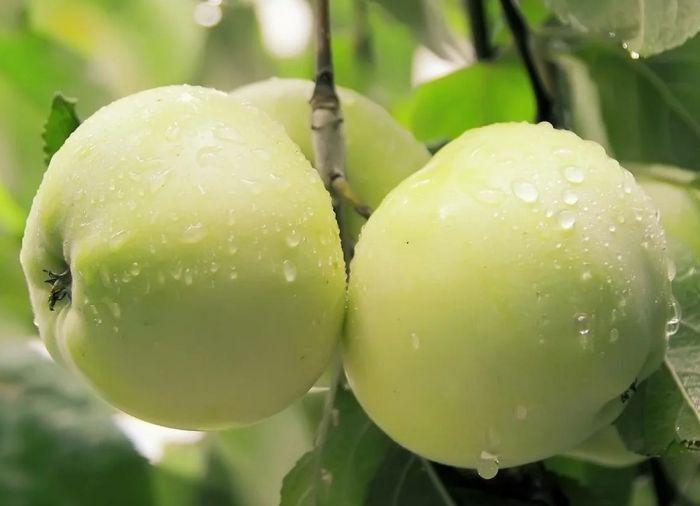 сорта яблок для мочения в холодильнике