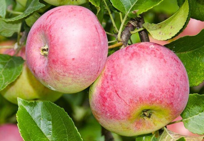 яблоки уэлси как мочить