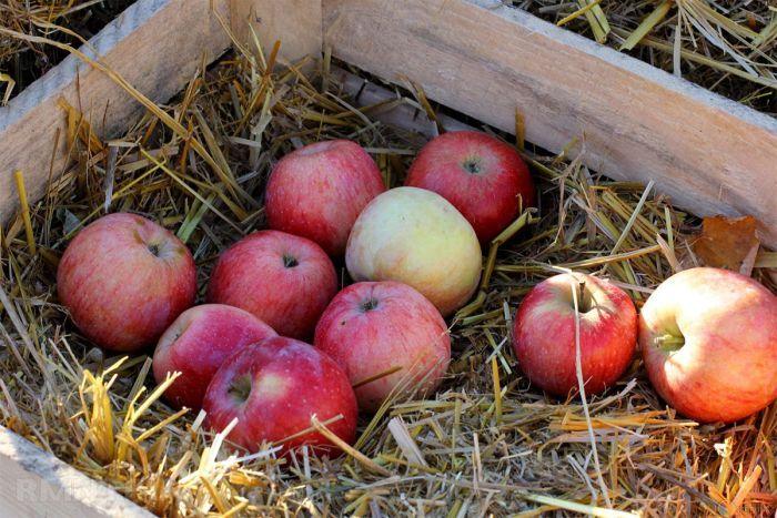 где лучше хранить яблоки