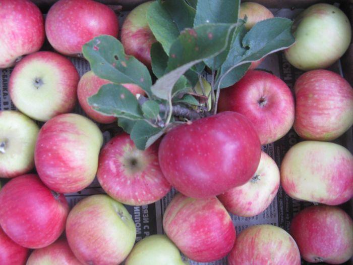 сорта зимних яблок