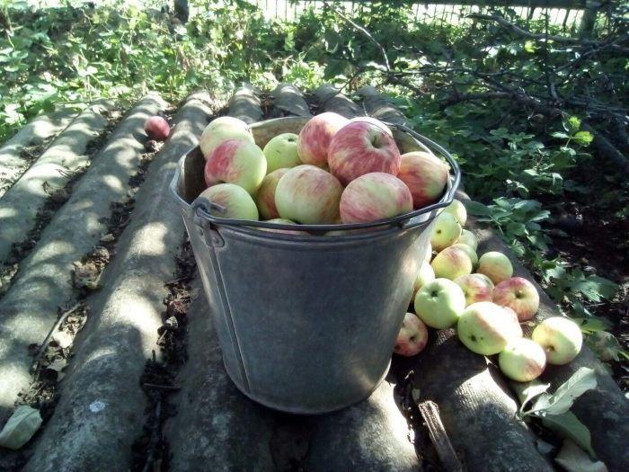 хранение яблок на даче