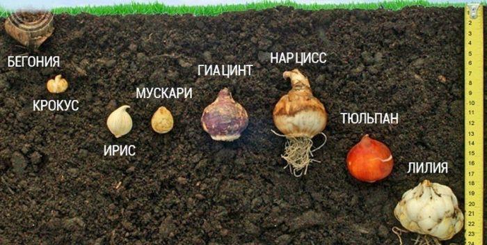 глубина посадки луковиц осенью