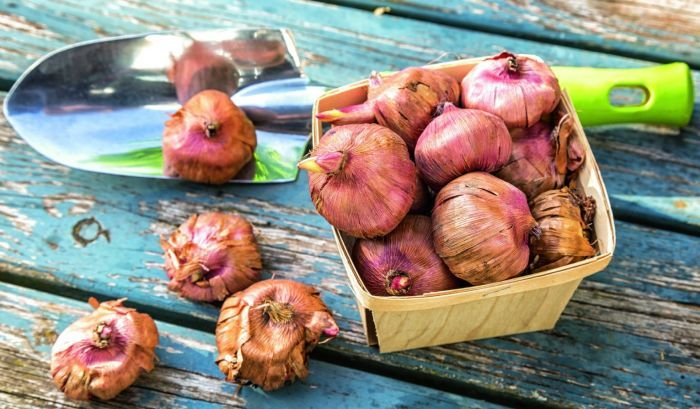 гиацинт луковицы для посадки