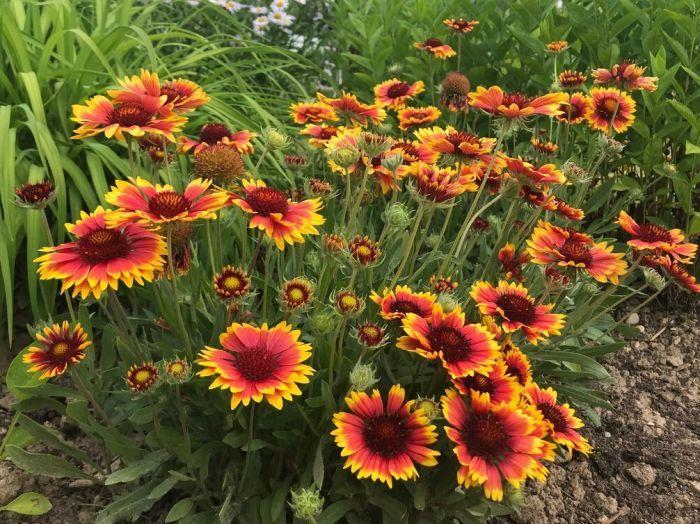Гайлардия многолетниц цветущий