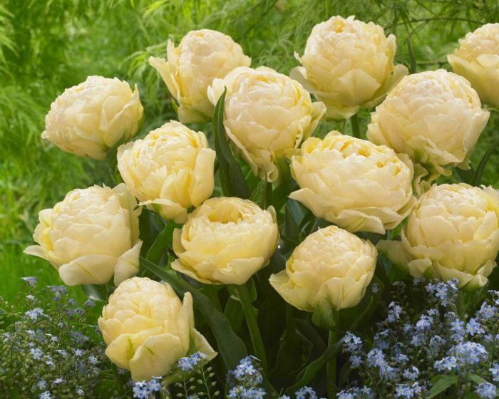 пионовидный тюльпан фото