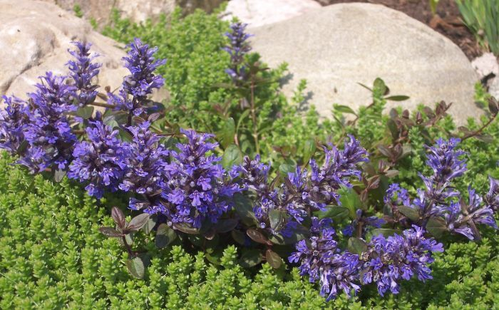 живучка темно-синяя цветущая