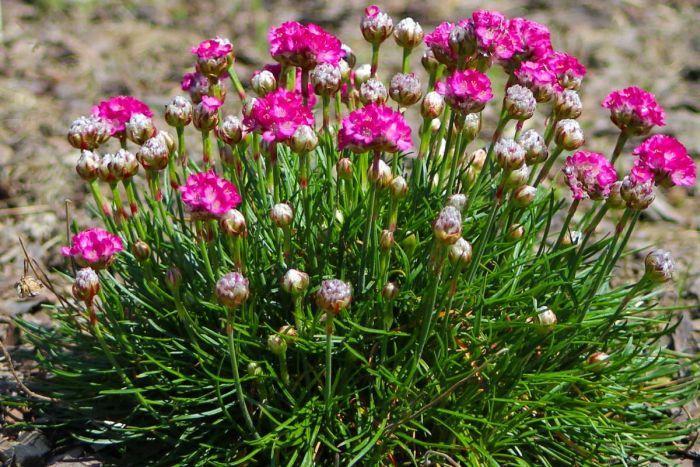 растения для альпийской горки многолетники