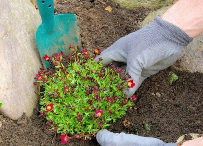 как высадить растения на альпийскую горку