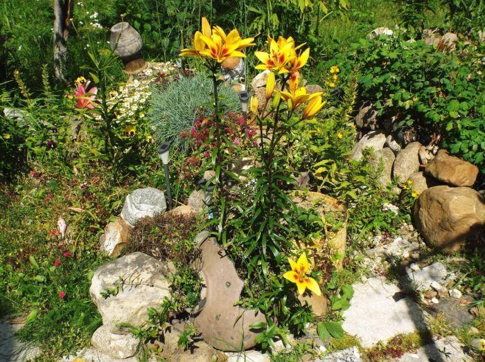 Лилии в альпинарии