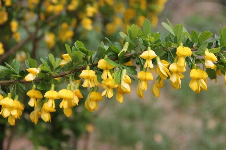 Цветки Кураганы