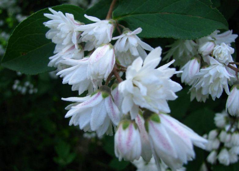 Цветы дайции