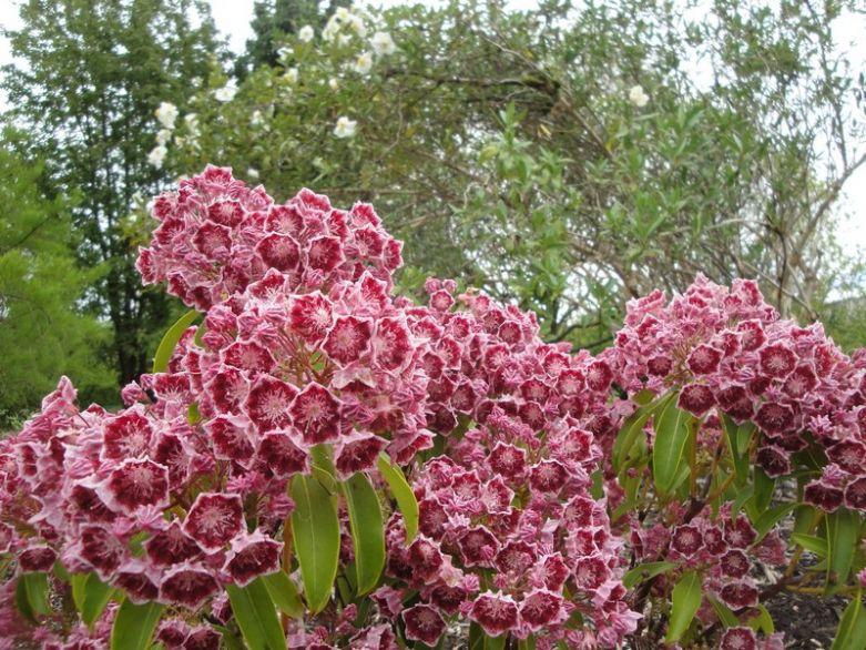 Цветы Кальмии