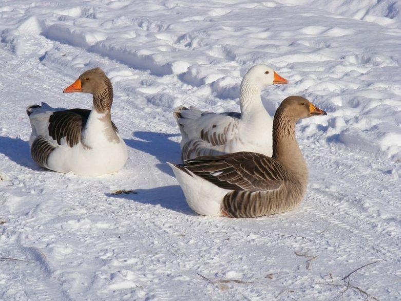 Гуси зимой
