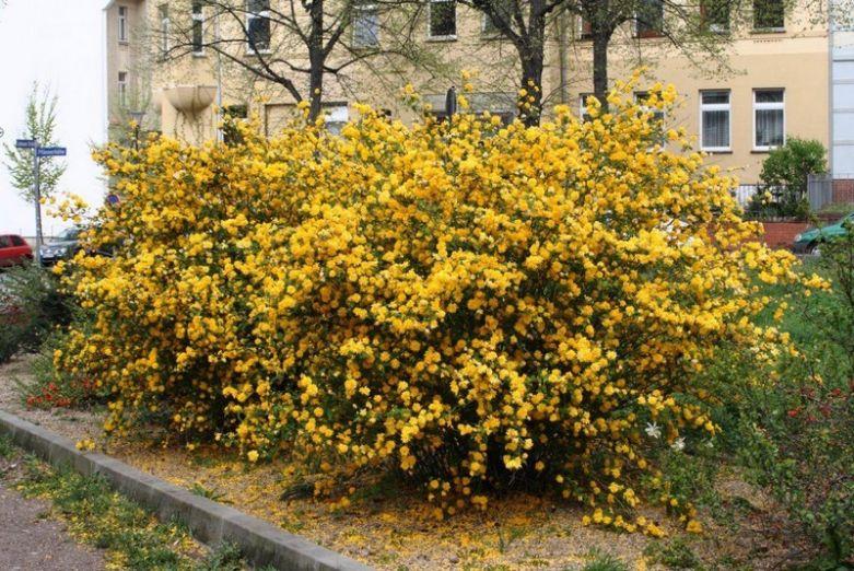 Как цветет керия