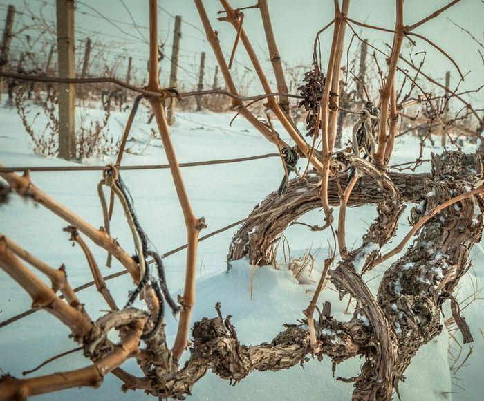 виноград зимой без укрытия