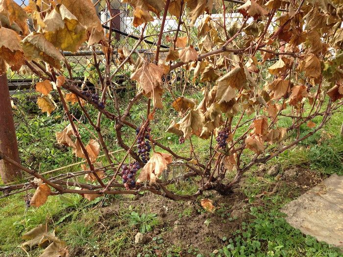 виноград поздней осенью