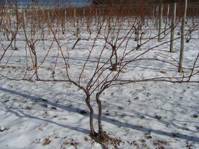 виноградная лоза в снегу