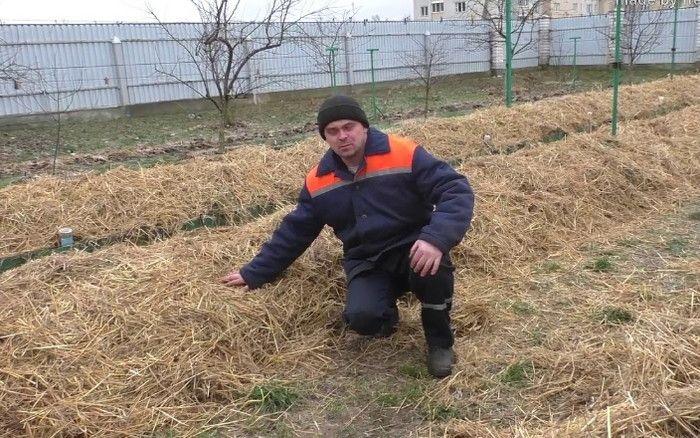 укрывание винограда сеном