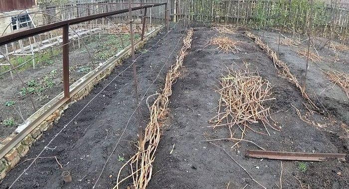 тростник для утепления лозы
