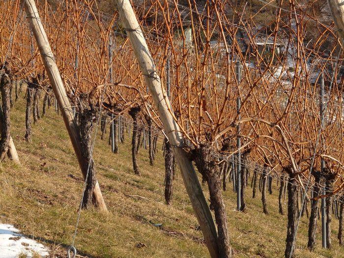 виноград перед зимой