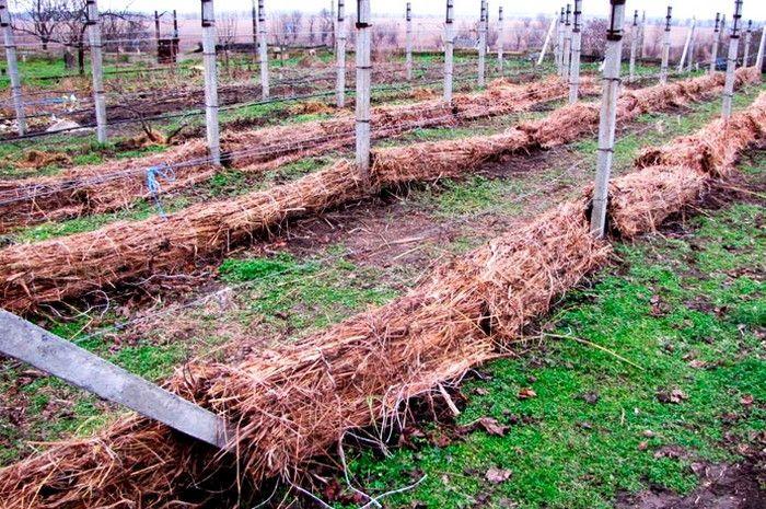 укрыть виноград соломой