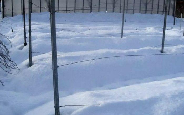 виноград под снегом на зиму