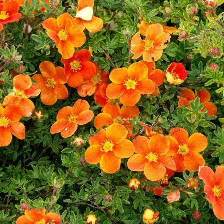 Оранжевая лапчатка