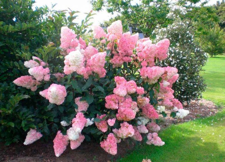 Расцветка гортензий